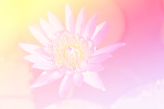 Schöner purpurroter Lotos Stockbild
