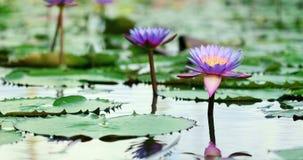 Schöner purpurroter Lotos, eine Seeroseblume im Teich stockfotografie