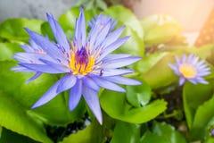 Schöner purpurroter Lotosteich im Park Hintergrund Stockfoto