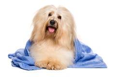 Schöner rötlicher havanese Hund nach dem Bad, das in einem blauen Tuch liegt Lizenzfreies Stockbild