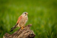 Schöner Raubvogel auf einem Stamm Lizenzfreies Stockbild