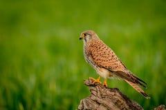 Schöner Raubvogel auf einem Stamm Stockfotografie