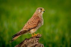 Schöner Raubvogel auf einem Stamm Stockfotos