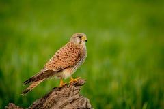 Schöner Raubvogel auf einem Stamm Lizenzfreies Stockfoto