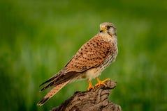 Schöner Raubvogel auf einem Stamm Lizenzfreie Stockfotos
