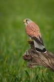 Schöner Raubvogel auf einem Stamm Stockfoto