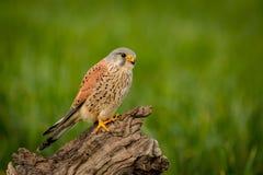 Schöner Raubvogel auf einem Stamm Lizenzfreie Stockbilder