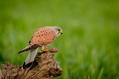 Schöner Raubvogel auf einem Stamm Stockbild