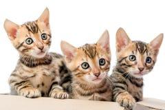 Schöner reinrassiger Blick des Kätzchens drei heraus von einem Kasten Lizenzfreies Stockbild
