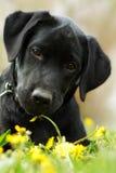 Schöner reinrassiger schwarzer Labrador-Welpe liegt auf dem Sommer g Stockfotos