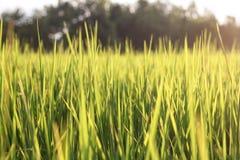 Schöner Reisfeldhintergrund Lizenzfreies Stockfoto