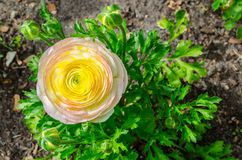 Schöner reizender gelber und rosa Ranunculus oder Butterblume blüht am hundertjährigen Park, Sydney, Australien stockbilder