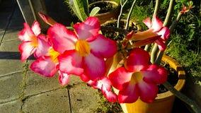 Schöner rosa Adenium blüht Hintergrund Stockbilder