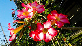 Schöner rosa Adenium blüht Hintergrund Lizenzfreies Stockbild