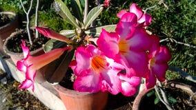 Schöner rosa Adenium blüht Hintergrund Lizenzfreie Stockfotos