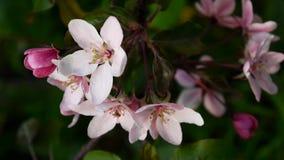 Schöner rosa blühender Apfelbaum auf Windfrühling im Garten Statische Kamera stock footage