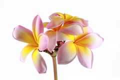 Schöner rosa Blütenstand Lizenzfreies Stockbild