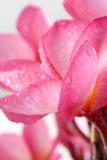 Schöner rosa Blütenstand Stockbilder