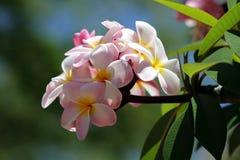 Schöner rosa Blütenstand Stockbild