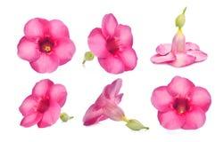 Schöner rosa Blume Allamanda Cathartica lokalisiert auf Weiß Stockbilder
