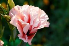 Schöner rosa Blume Eustoma auf einem grünen Hintergrund stockbilder