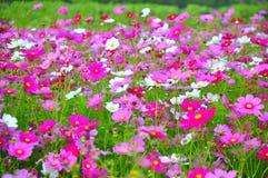 Schöner rosa Blumengarten an Jim Thompsons Bauernhof, Thailand Stockbild