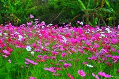 Schöner rosa Blumengarten an Jim Thompsons Bauernhof, Thailand Stockfotografie