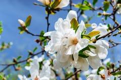 Schöner rosa Frühling blüht Magnolie auf einem Baumast Stockbilder