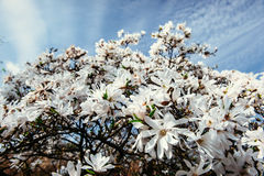 Schöner rosa Frühling blüht Magnolie auf einem Baumast Stockfoto