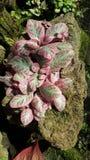 Schöner rosa-leaved Episcia lizenzfreie stockbilder
