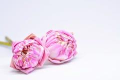 Schöner rosa Lotos zwei Stockfoto
