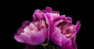 Schöner rosa Pfingstrosenblumenstraußhintergrund Blühende Pfingstrosenblumen offen, Zeitspanne, Nahaufnahme Geburtstag, Valentins stock video footage
