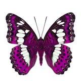 Schöner rosa Schmetterling, gemeiner Kommandant (moduza procris) unter den Flügelanteilen an fantastischem Farbprofil lokalisiert stockbild
