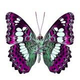 Schöner rosa Schmetterling, gemeiner Kommandant (moduza procris) unter den Flügeln im fancyl Farbprofil lokalisiert auf Weiß stockfotos