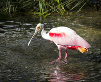 Schöner rosa Spoonbill Stockbilder