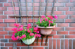 Schöner Rosablumen-Pelargonienfall auf der Backsteinmauer lizenzfreies stockfoto
