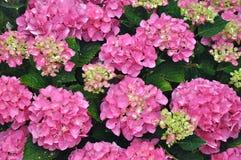 Schöner rosafarbener Hydrangea Bush Stockbild