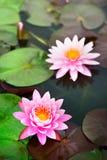 Schöner rosafarbener Lotos im Teich Lizenzfreies Stockbild