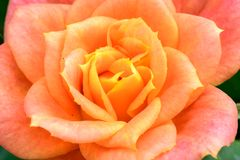 Schöner Rosarosen-Blumenabschluß Stockfotografie
