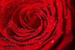 Schöner rote Rosen-Abschluss oben Stockbilder