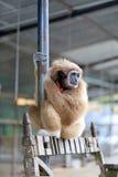 Schöner roter Affe Stockbilder