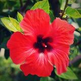 Schöner roter blühender Hibiscus Hibiscus sabdariffa, Hibiscus essbar Stockfotografie