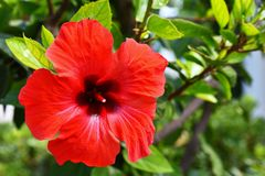 Schöner roter blühender Hibiscus Hibiscus sabdariffa, Hibiscus essbar Lizenzfreies Stockfoto