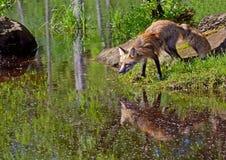 Schöner roter Fox, der Wasserreflexion zeigt stockfotos