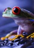 Schöner roter Frosch Lizenzfreie Stockfotografie