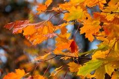 Schöner roter gelb-orangeer Herbstlaubhintergrund Stockfotografie
