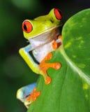 Schöner roter gemusterter grüner Baumfrosch, Costa Rica Stockfotos
