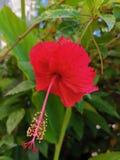 Schöner roter Hibiscus in meinem Garten unter der heißen Sonne lizenzfreie stockbilder
