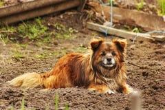 Schöner roter Hund, der aus den Grund liegt und die Kamera betrachtet stockbild