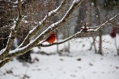 Schöner roter männlicher hauptsächlicher Vogel auf Niederlassung im Schnee lizenzfreies stockfoto